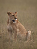 Lioness (Panthera Leo), Serengeti National Park, Tanzania, East Africa, Africa Fotografisk tryk af James Hager