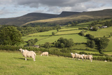 Sheep Below Black Mountain, Llanddeusant, Brecon Beacons National Park, Carmarthenshire, Wales, UK Photographic Print by Stuart Black