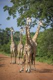 Thornicroft's Giraffe (Giraffa Camelopardalis Thornicrofti) Fotografisk tryk af Janette Hill
