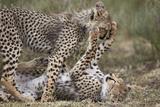 Cheetah (Acinonyx Jubatus) Cubs Playing, Serengeti National Park, Tanzania, East Africa, Africa Photographic Print by James Hager