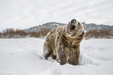 Brown Bear (Grizzly) (Ursus Arctos), Montana, United States of America, North America Reproduction photographique par Janette Hil