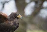 Harris Hawk (Parabuteo Unicinctus), Raptor, Herefordshire, England, United Kingdom Photographic Print by Janette Hill