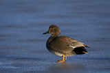 Gadwall (Anas Strepera) Male Standing on a Frozen Pond in the Winter Photographic Print by James Hager