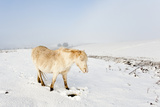 A Welsh Pony Forages for Food under the Snow on the Mynydd Epynt Moorland Photographic Print by Graham Lawrence