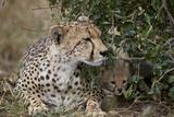 Cheetah (Acinonyx Jubatus) Mother and Cub Photographic Print by James Hager