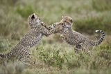 Two Cheetah (Acinonyx Jubatus) Cubs Playing Impressão fotográfica por James Hager