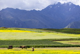 Cultivated Fields and Cattle, Moho, Bordering on Lake Titicaca, Peru Photographic Print by Peter Groenendijk