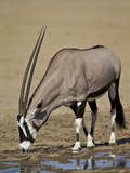 Gemsbok (South African Oryx) (Oryx Gazella) Drinking Photographic Print by James Hager