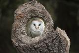 Barn Owl (Tyto Alba), Herefordshire, England, United Kingdom Lámina fotográfica por Janette Hill