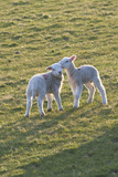Lambs Play in a Field, Powys, Wales, United Kingdom Photographic Print by Graham Lawrence