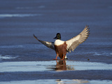 Northern Shoveler (Anas Clypeata) Male Landing on a Frozen Pond in the Winter Photographic Print by James Hager