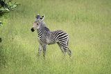 Crawshays Zebra Foal (Equus Quagga Crawshayi), South Luangwa National Park, Zambia, Africa Photographic Print by Janette Hill