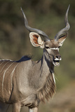 Greater Kudu (Tragelaphus Strepsiceros) Buck with His Mouth Open Photographic Print by James Hager