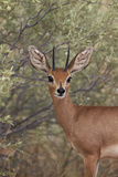 Steenbok (Raphicerus Campestris) Buck Photographic Print by James Hager