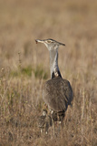Kori Bustard (Ardeotis Kori) Adult and Ckick Photographic Print by James Hager