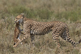 Cheetah (Acinonyx Jubatus) Carrying a Thomson's Gazelle (Gazella Thomsonii) Calf Photographic Print by James Hager
