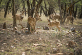 Spotted Deer (Cheetal) (Chital Deer) (Axis Deer) (Axis Axis), Ranthambhore, Rajasthan, India Photographic Print by Janette Hill