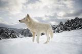 Arctic Wolf (Canis Lupus Arctos), Montana, United States of America, North America Reproduction photographique par Janette Hil