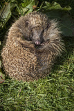 Hedgehog (Erinaceinae), Devon, England, United Kingdom Photographic Print by Janette Hill