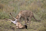 Male Cheetah (Acinonyx Jubatus) Killing a Newborn Blue Wildebeest (Brindled Gnu) Calf Photographic Print by James Hager