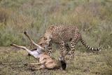Male Cheetah (Acinonyx Jubatus) Killing a Newborn Blue Wildebeest (Brindled Gnu) Calf Photographic Print by James Hager