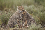 Cheetah (Acinonyx Jubatus) Cubs, Serengeti National Park, Tanzania, East Africa, Africa Photographic Print by James Hager
