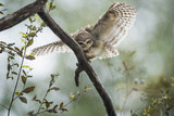 Spotted Owlet (Athene Brama), Ranthambhore, Rajasthan, India Photographic Print by Janette Hill