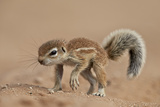 Baby Cape Ground Squirrel (Xerus Inauris) Photographic Print by James Hager