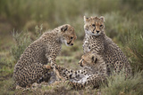 Cheetah (Acinonyx Jubatus) Cubs, Serengeti National Park, Tanzania, East Africa, Africa Photographic Print by James Hager