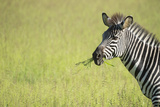 Crawshays Zebra (Equus Quagga Crawshayi), South Luangwa National Park, Zambia, Africa Photographic Print by Janette Hill