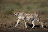 Cheetah (Acinonyx Jubatus), Ngorongoro Conservation Area, Serengeti, Tanzania, East Africa, Africa Photographic Print by James Hager