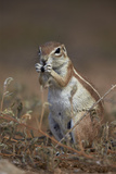 Cape Ground Squirrel (Xerus Inauris) Eating Photographic Print by James Hager