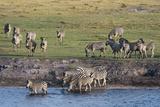 Burchell's Zebras (Equus Burchelli), Chobe National Park, Botswana, Africa Photographic Print by Sergio Pitamitz