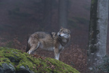 Gray Wolf (Canis Lupus), Bavarian Forest National Park, Bavaria, Germany, Europe Photographic Print by Sergio Pitamitz