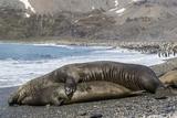 Southern Elephant Seals (Mirounga Leonina) Mating, St. Andrews Bay, South Georgia, Polar Regions Reprodukcja zdjęcia autor Michael Nolan
