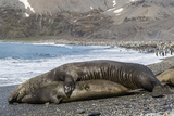 Southern Elephant Seals (Mirounga Leonina) Mating, St. Andrews Bay, South Georgia, Polar Regions Photographic Print by Michael Nolan
