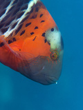 Red-Banded Wrasse (Cheilinus Fasciatus), Cairns, Queensland, Australia, Pacific Photographic Print by Louise Murray