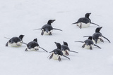 Adelie Penguins (Pygoscelis Adeliae) Tobogganing to the Sea at Brown Bluff Photographic Print by Michael Nolan