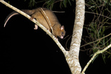 Coppery Brushtail Possum (Trichosurus Vulpecula Johnstonii) Photographic Print by Louise Murray
