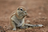 Young Cape Ground Squirrel (Xerus Inauris) Eating Photographic Print by James Hager