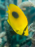 Ovalspot Butterflyfish (Chaetodon Speculum), Cairns, Queensland, Australia, Pacific Photographic Print by Louise Murray