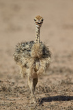 Common Ostrich (Struthio Camelus) Chick Photographic Print by James Hager