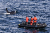 Adult Type a Killer Whale (Orcinus Orca) Surfacing Near Researchers in the Gerlache Strait Photographic Print by Michael Nolan