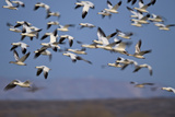 Snow Goose (Chen Caerulescens) Flock in Flight Photographic Print by James Hager