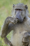 Chacma Baboon (Papio Ursinus) Eating, Kruger National Park, South Africa, Africa Photographic Print by James Hager