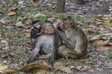 Long-Tailed Macaques (Macaca Fascicularis) Grooming Near Angkor Thom, Siem Reap, Cambodia Photographic Print by Michael Nolan