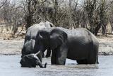 African Elephants (Loxodonta Africana), Khwai Concession, Okavango Delta, Botswana, Africa Photographic Print by Sergio Pitamitz