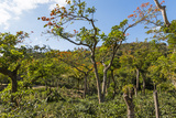 Typical Flowering Shade Tree Arabica Coffee Plantation in Highlands En Route to Jinotega Photographic Print by Rob Francis