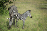 Crawshays Zebra Mother and Foal (Equus Quagga Crawshayi) Photographic Print by Janette Hill