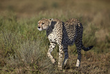 Cheetah (Acinonyx Jubatus), Ngorongoro Conservation Area, Serengeti, Tanzania, East Africa, Africa Photographic Print by James Hager